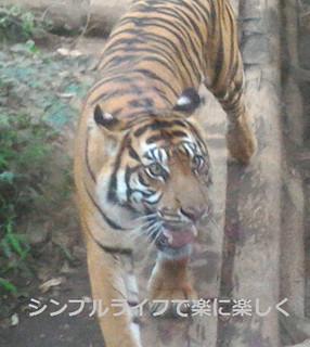 東京1日目、上野動物園トラ