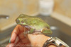 Augustus - Whites Tree Frog