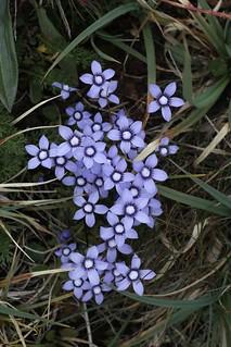 Comastoma falcatum (Gentianaceae)