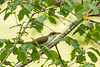 yellow-billed cuckoo in the yellow-green leaves