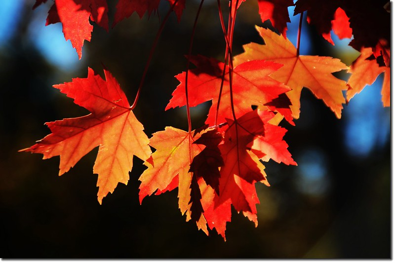 Sugar maple leaves (17)