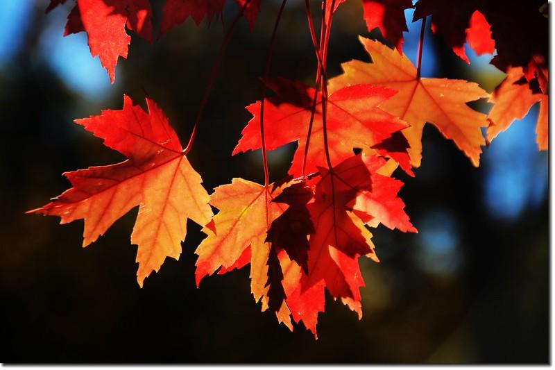 Sugar maple leaves (17)