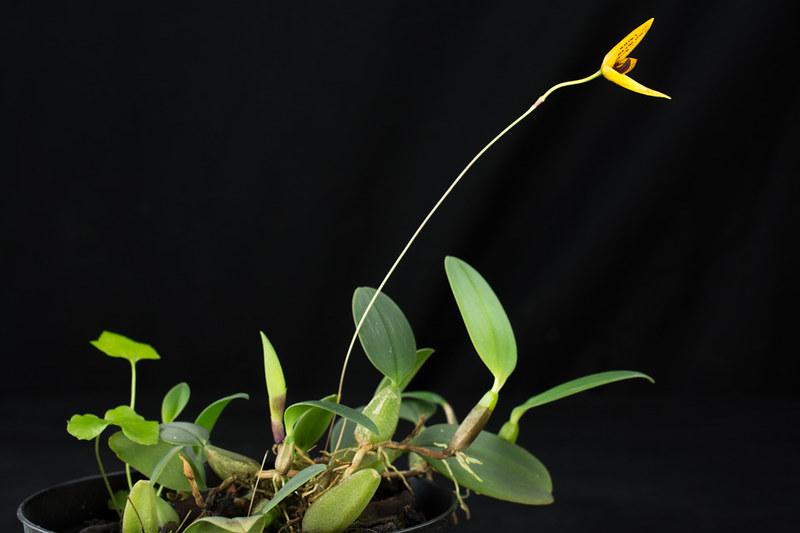 Bulbophyllum pardalotum 23232947902_b19809dbf4_c