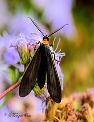 Yellow-collard Scape Moth