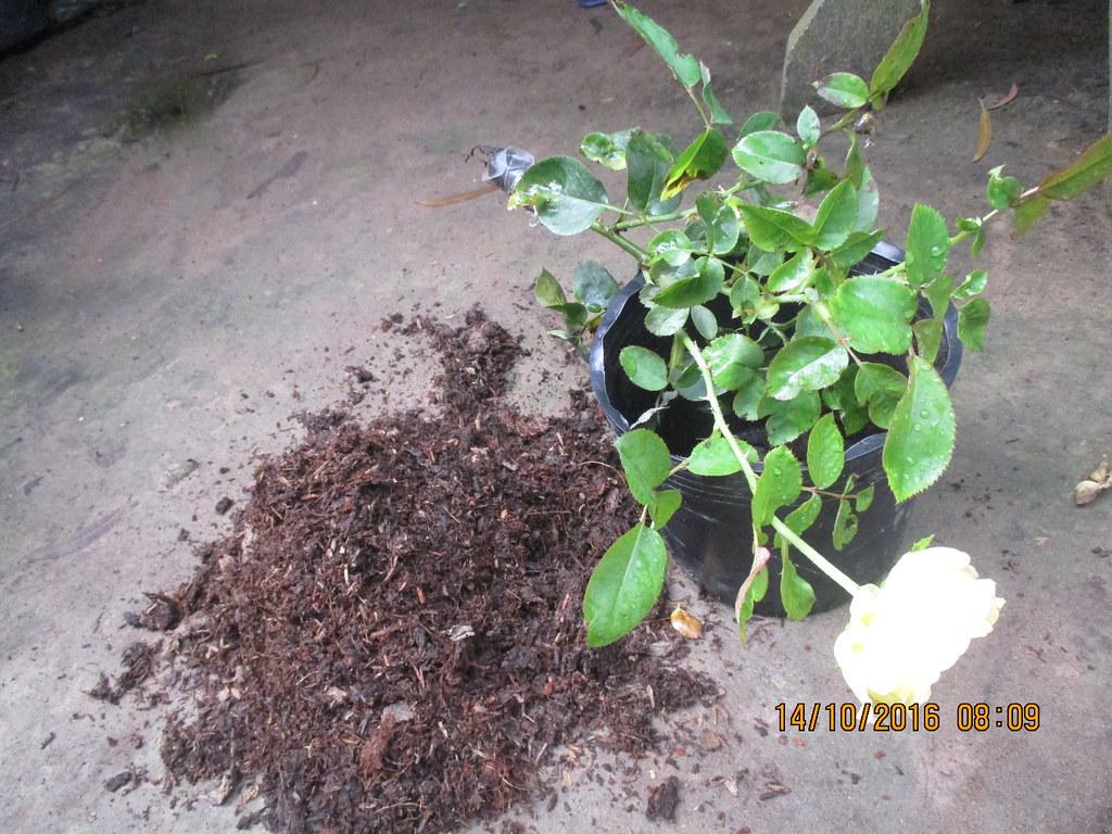 Nhân giống hoa hồng ngoại Catalina bằng cách chiết nhánh
