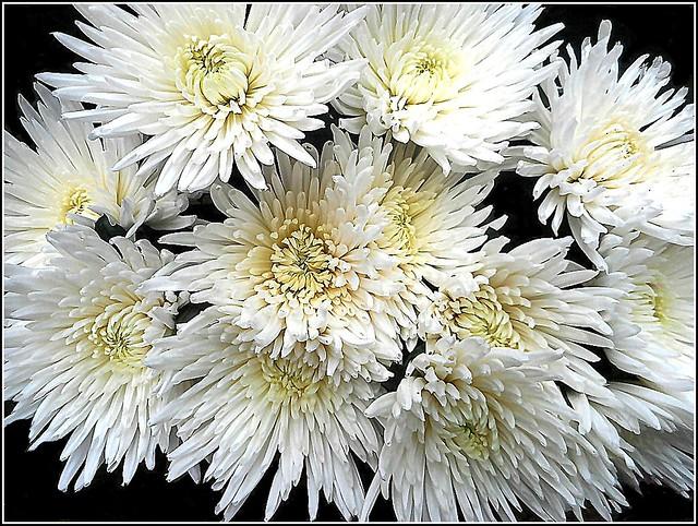 White Chrysanthemums ..