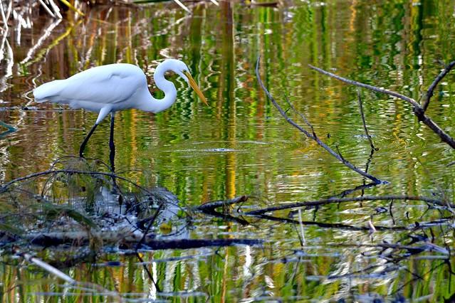 Great Egret in Zigzags