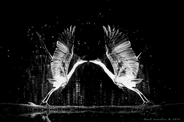 Il Bacio degli Aironi - Heron Kiss