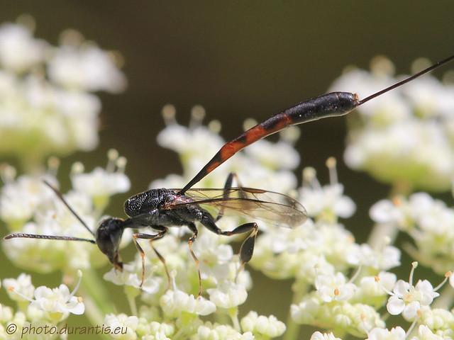 Ichneumonidae sp. · Schlupfwespe