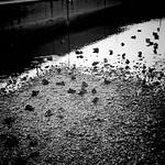 Ducks, Wallington