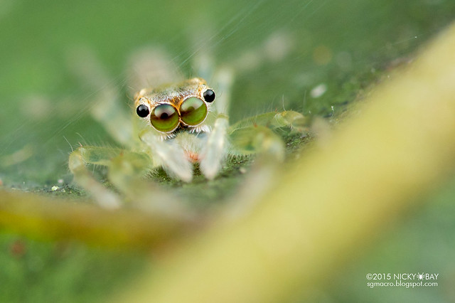 Jumping spider (Salticidae) - DSC_3809