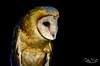 Barn Owl by G_Plaza