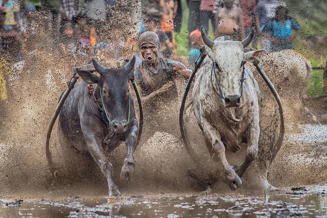 West Sumatra Bull_2 Races