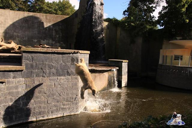 Eisbär Fiete im Zoo Rostock 26.09.2015   0210