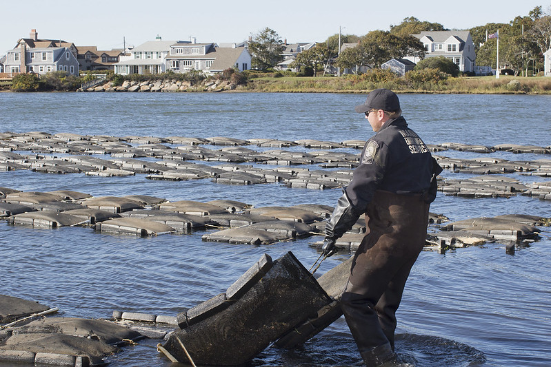 Falmouth Oyster Beds