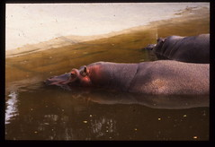 Hippopotamus amphibius DT [AR Córdoba] 2