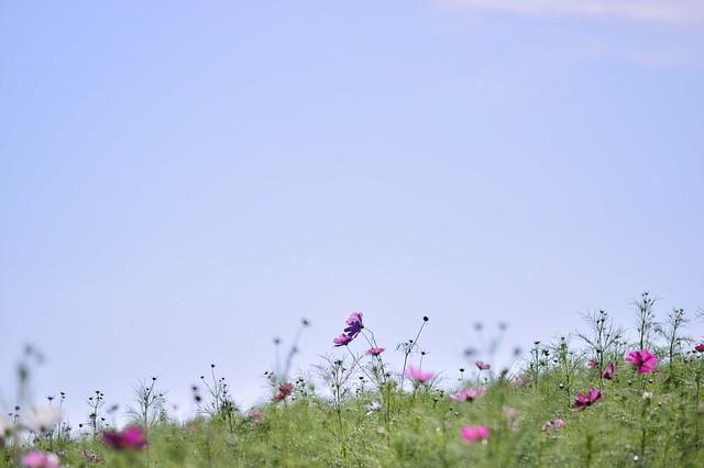 花の丘 Cosmos field
