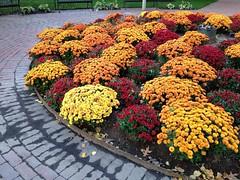 Many #mums. #igboston #flowers