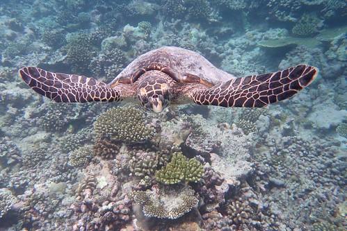 馬爾地夫拍到好漂亮的海龜跟水母。(TG-3)
