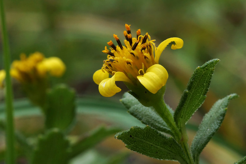 Wedelia prostrata  ネコノシタ