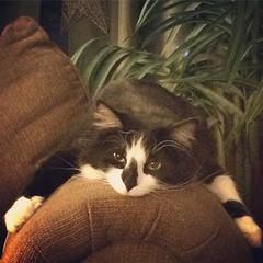 Liza's life is so hard. #catlife #catsofinstagram #cats #inmyhouse
