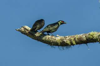 Short-tailed Starling - Mindanao - Philippines_H8O1003