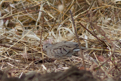 Ground-Dove