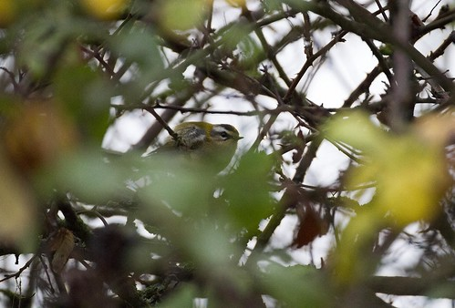 Firecrest, Meadow Lane, 13th Dec 15