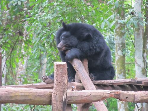 Luang Prabang: le centre de protection des ours