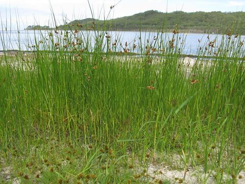 Bolboschoenus caldwellii habit2