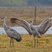 Sandhill Cranes by Stephen J Pollard (Loud Music Lover of Nature)