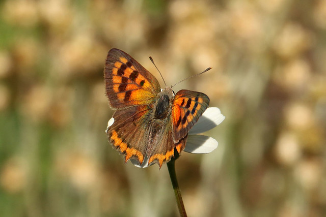 Small Copper - Lycaena phlaesas