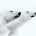 Polar Bears by Drynham