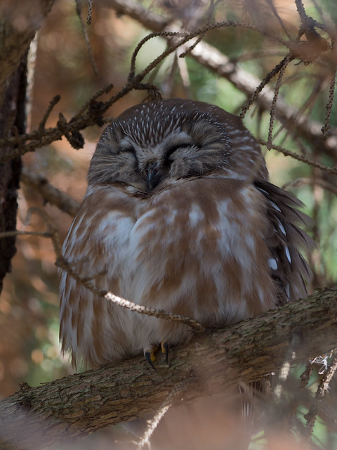 Northern Saw-whet Owl, Panasonic DMC-GH3, OLYMPUS M.300mm F4.0