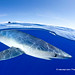 WWF #PicoftheWeek: A blue shark close to the surface in Pico Island, Azores, Portugal. by WWF - Global Photo Network