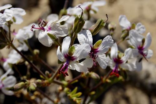Pelargonium adriaanii
