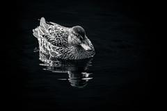 Swimming teal
