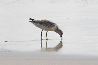 Red Knot-2.jpg