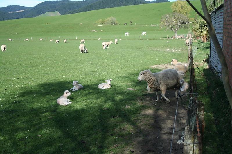 2015-10-12 - Lambs