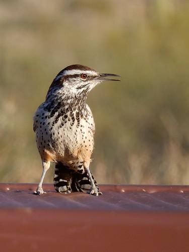Lost Dutchman State Park - fierce bird