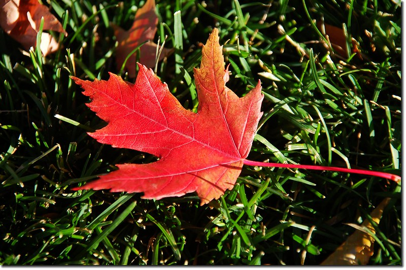 Sugar maple leaves (4)
