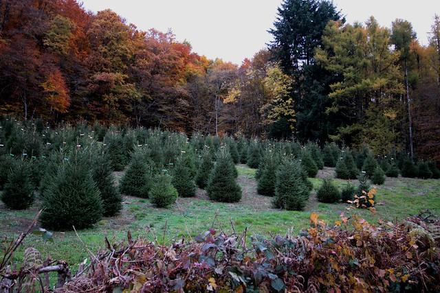 Kerstboomkwekereij, Morvan...
