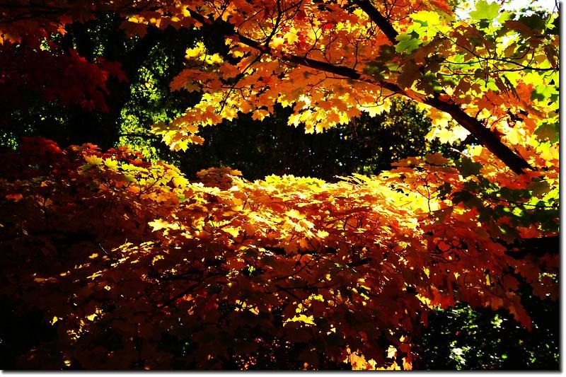 Sugar maple leaves (18)