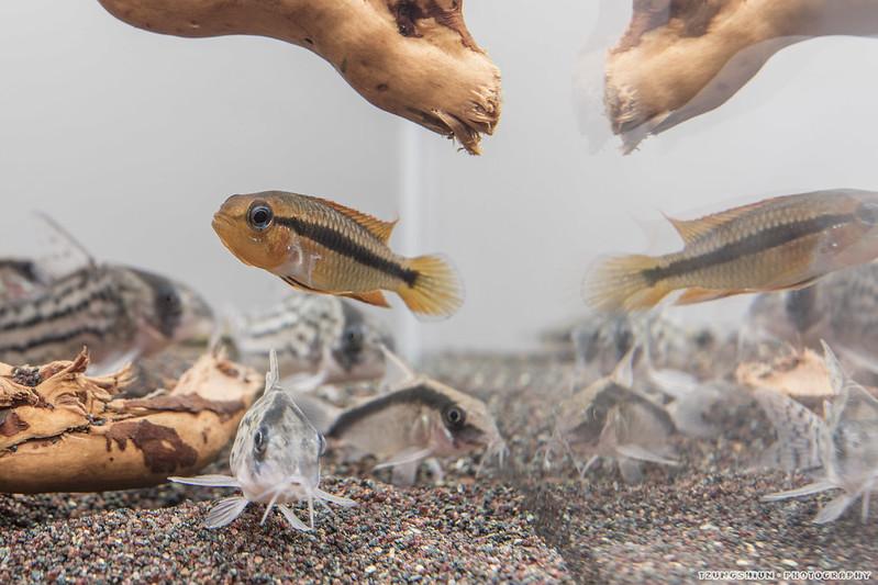 泰菲阿卡西 母魚