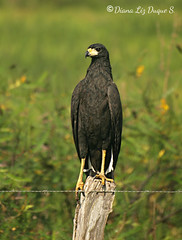 Aguila negra, Buteogallus urubitinga