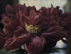 Peony - (Thank you Explore)