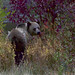 Small photo of Grizzly Bear (Ursus arctos horribilis)
