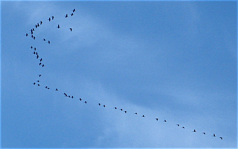 "Sandhill cranes flying in a ""v"""