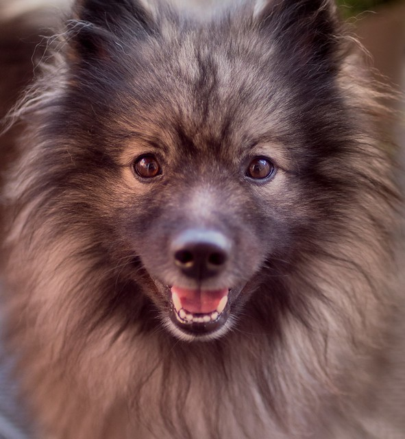 Keeshond Pictures and Informations - Dog-Breeds.com