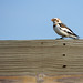 Snow Bunting Sighting by U.S. Fish and Wildlife Service - Midwest Region